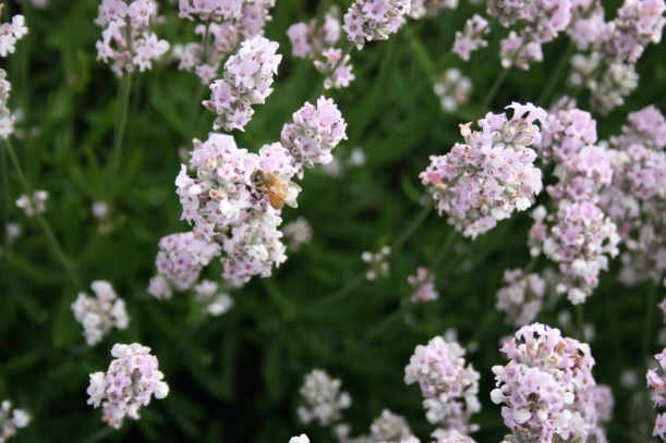 Bees pollination lavendar