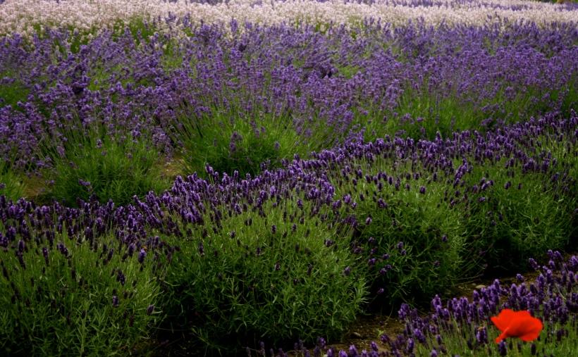 agritourism, lavender farms, lavender care