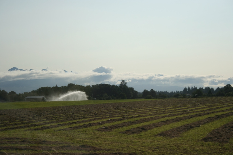 lavender fields, sequim washington, agritourism