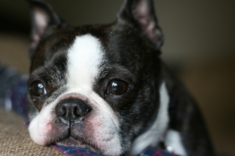 Boston-terrier-life-advice-aging