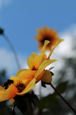 sunflowers-victoria