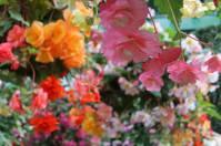 Hanging flowers, Victoria travel
