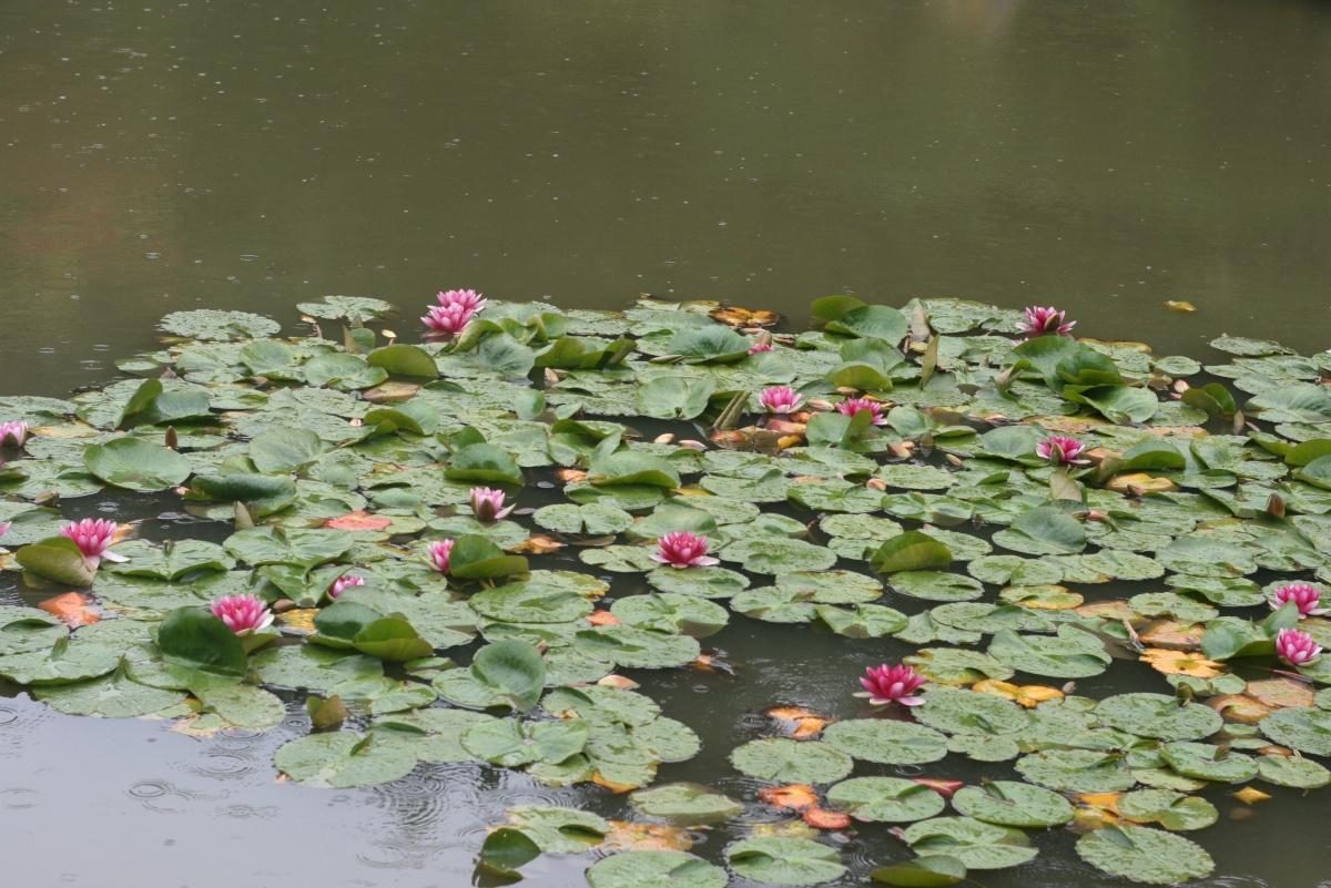 Lily Pond, Japanese Gardens, Seattle