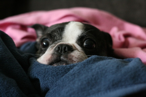 Boston Terrier, In Blankets