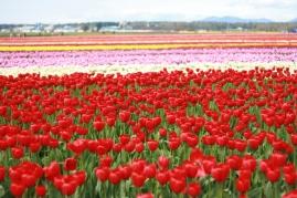 Travel Photography Washington Tulips