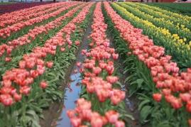 Tulip rows, Washington Travel