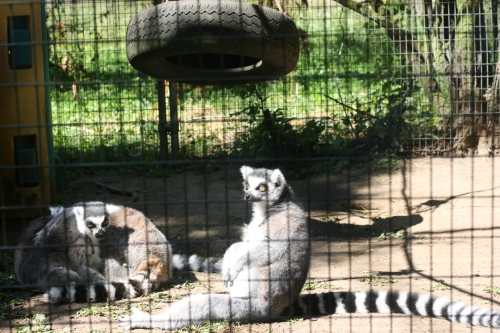 Lemur sun themselves
