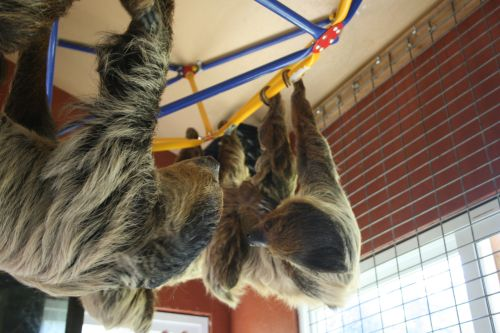 2-sloths-hanging